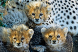 Close-Up of Cheetah (Acinonyx Jubatus) Cubs  Ndutu  Ngorongoro Conservation Area  Tanzania