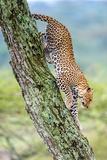 Leopard (Panthera Pardus) Moving Down a Tree, Ndutu, Ngorongoro Conservation Area, Tanzania Papier Photo par Green Light Collection