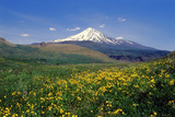 A Meadow of Wildflowers in Spring  with Mount Damavand  Alborz Mountains in the Distance