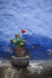 A Colorful Blue Wall and a Red Geranium in a Pot Inside the Santa Catalina Monastery