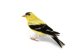 An American Goldfinch  Spinus Tristis