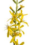 'The Rocket' Plant  Ligularia Stenocephala