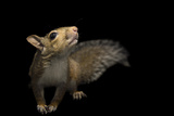A Studio Portrait of an Eastern Gray Squirrel  Sciurus Carolinensis