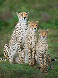Cheetah (Acinonyx Jubatus) Family  Ndutu  Ngorongoro Conservation Area  Tanzania