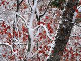 Red Autumn Leaves in Snow