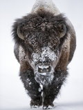 Portrait of an Snow-Dusted American Bison  Bison Bison