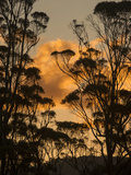The Sun Setting Behind Blue Gum  Eucalyptus Globulus  Trees in the Wielangta State Forest