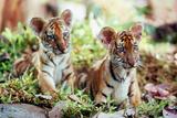 Deux Freres Two Brothers De Jeanjacquesannaud Avec Les Petits Tigres Kumal  Sangha  2004
