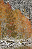 Orange Aspens in the Fall Among Evergreens Covered with Snow at a Lake