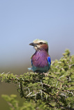 Lilac-Breasted Roller (Coracias Caudata)