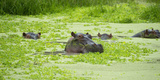 Hippopotamus (Hippos) Wallowing in Hippo Pool  South Luangwa National Park  Zambia  Africa