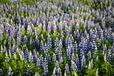 Lupine Flowers  Reykjavik  Iceland  Polar Regions