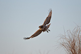 Juvenile Red-Tailed Hawk (Buteo Jamaicensis) in Flight
