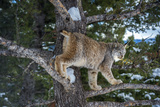 Canadian Lynx (Lynx Canadensis)  Montana  United States of America  North America