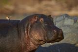 Hippopotamus (Hippopotamus Amphibius) with a Red-Billed Oxpecker (Buphagus Erythrorhynchus)