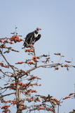 Red-Headed Vulture (Asian King Vulture) (Indian Black Vulture) (Sarcogyps Calvus)