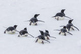 Adelie Penguins (Pygoscelis Adeliae) Tobogganing to the Sea at Brown Bluff