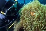 Scuba Diver with False Clown Anenomefish  Magnificent Sea Anemone  Cairns  Queensland  Australia