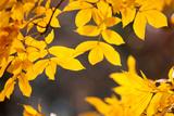 Sand Hickory Tree (Carya Pallida) Part of the Family of Juglandaceae  London  England  UK