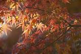 Autumnal Maple Leaves  Kyoto  Japan