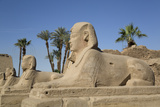 Avenue of Sphinxes  Luxor Temple  Luxor  Thebes  Egypt  North Africa  Africa
