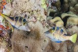 Mating Display by Pair of Wire-Net Filefish (Cantherhines Paradalis)  Queensland  Australia