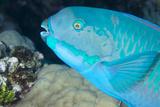 Indian Steephead Parrotfish (Scarus Strongycephalus)  Beak Open Feeding  Queensland  Australia
