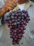 Grapes  San Joaquin Valley  California  United States of America  North America