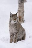European Lynx (Lynx Lynx)  Polar Park  Norway  Troms  Norway  Scandinavia