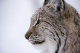European Lynx (Lynx Lynx)  Polar Park  Troms  Norway  Scandinavia