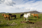 Wild Horses  Reykjanes Peninsula  Iceland  Polar Regions