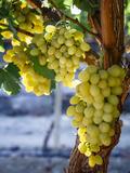 Grapes in San Joaquin Valley  California  United States of America  North America