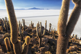 Cacti  Isla Incahuasi  a Unique Outcrop in the Middle of the Salar De Uyuni  Oruro  Bolivia
