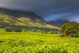 Tea Estate on Mount Mulanje  Malawi  Africa
