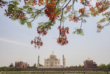Branches of a Flowering Tree with Red Flowers Frame the Taj Mahal Symbol of Islam in India
