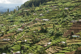 Terraced Farmland Above Ambewela  Hill Country  Sri Lanka  Asia