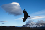 Andean Condor (Vultur Gryphus) Flying over Torres Del Paine National Park  Chilean Patagonia  Chile