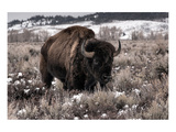 Aged Bison in Teton Nat Park