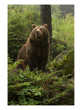 Brown Bear in a Green Forest