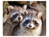 Adult Raccoon Nest Closeup Reproduction d'art