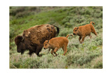 Bison and Calves Running