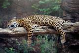 Cheetah Sleeping in Tree