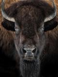 American Bison II