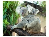 Koala Mom and Baby on a Branch Reproduction d'art