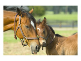 Loving Mare and Foal Reproduction d'art