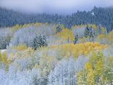 Aspen (Populus Tremuloides) and Spruce (Picea Sp)  Rocky Mountain Nat'l Park  Colorado