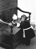 A Chimpanzee brushing up on the housework