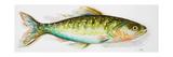 Watercolor Fish II