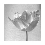 B&W Tulip