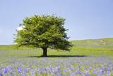 Lone Tree and Mauve Spring Wildflowers at Holwell Lawn  Dartmoor  Devon England